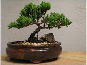 Best Gift Bonsai Juniper Tree