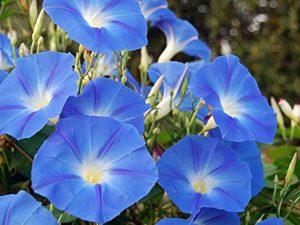 Heavenly Blue Morning Blooming Vine Seeds