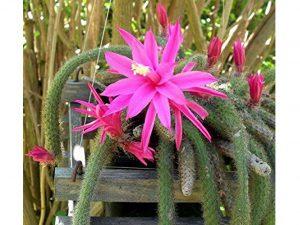 Easy to Grow Rare Rattail Cactus - Aporocactus