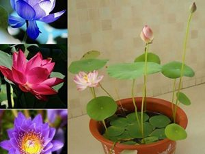 Dwarf Lotus Flower Seeds