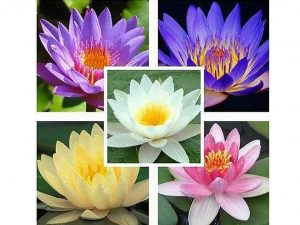 Aquatic Lotus Seeds