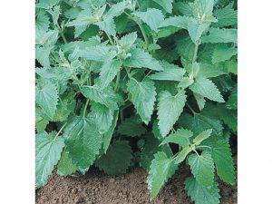 David's Garden Seeds Herb Catnip 200 Organic Seeds