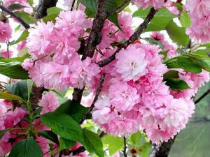 KWANZAN CHERRY TREE - DOUBLE FLOWERS 3