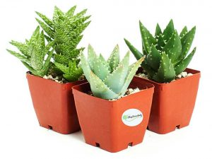 Aloe Plants - Easy to Grow/Hard to Kill