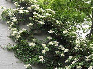 Climbing Hydrangea Vine Live Plant