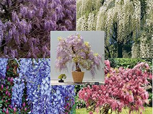 5 different colors of Wisteria, package of 25 seeds