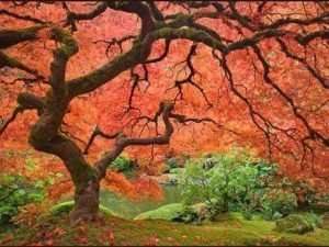 25 SCARLET / CAROLINA RED MAPLE TREE