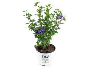 Proven Winners - Hibiscus syriacus Azurri Blue Satin