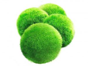 Luffy Marimo Moss Balls - Aesthetically Beautiful & Create Healthy Environment