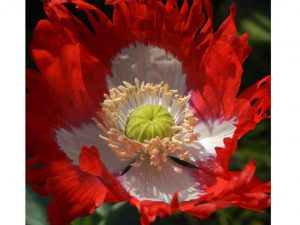 Danish Flag Poppy (Papaver somniferum) Open Pollinated Seeds