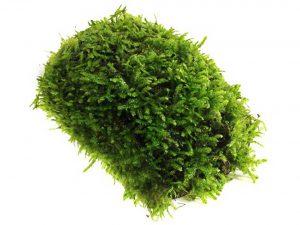 Luffy Coco Mini Moss