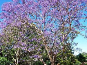 Seeds and Things Blue Jacaranda Tree