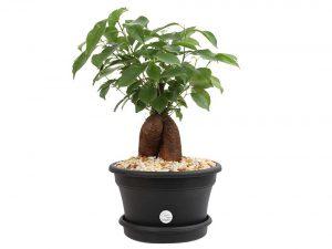 Costa Farms Ficus Bonsai Live Indoor Tabletop Plant