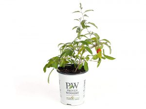 Sweet Lifeberry Goji Berry Live Shrub, Purple Flowers & Red Fruit