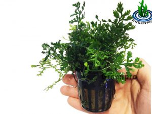 Bolbitis Difformis Baby Leaf Fern Potted Live Plants