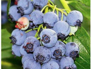 Blueray Blueberry Plant - 20 Pounds of Berries per Bush