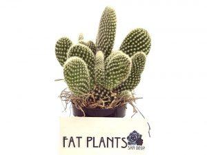 Fat Plants San Diego Microdasys Opuntia Succulent Plant