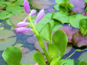 Water Hyacinths; Water Lettuce; Parrots Feather