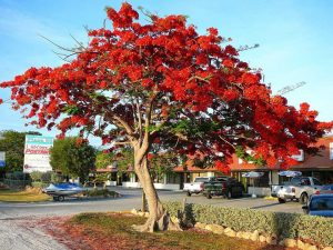 Royal Poinciana Flame Tree 15 Seeds