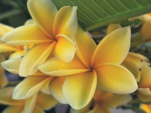 Yellow Potted Plumeria Plant